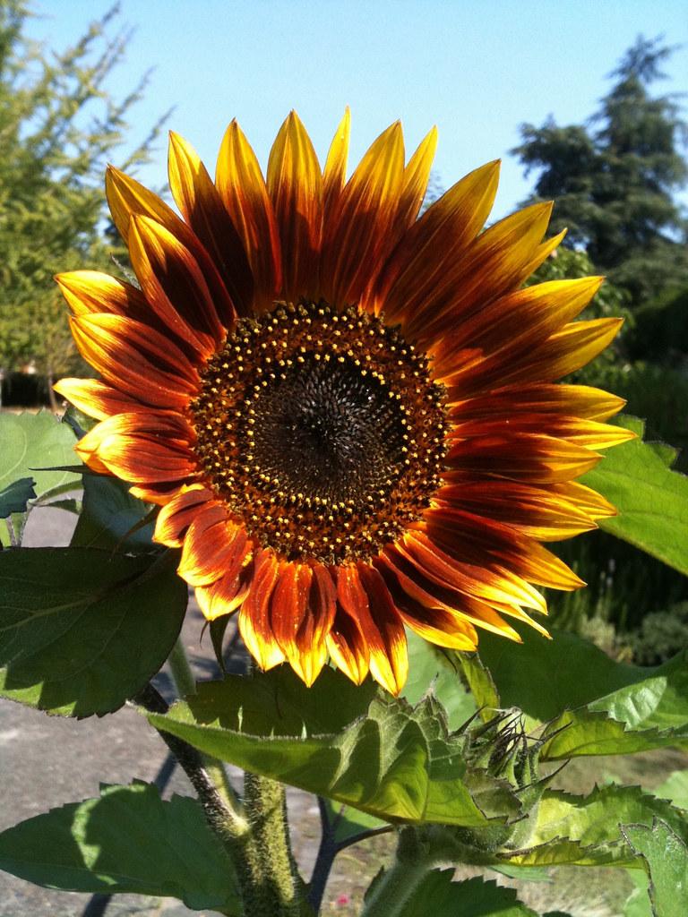 Favorite sunflower