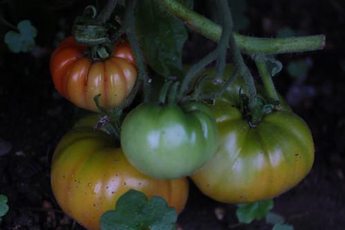 Tomato Tricolore (1)