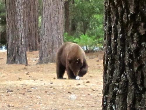 Scavenging Bear