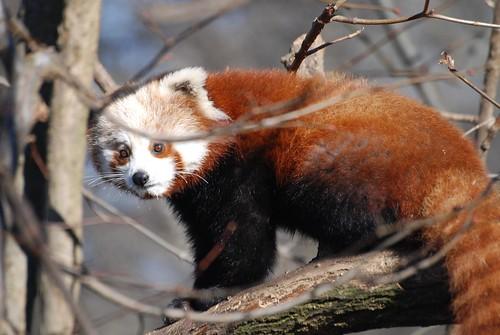 Roter Panda im Tierpark Friedrichsfelde