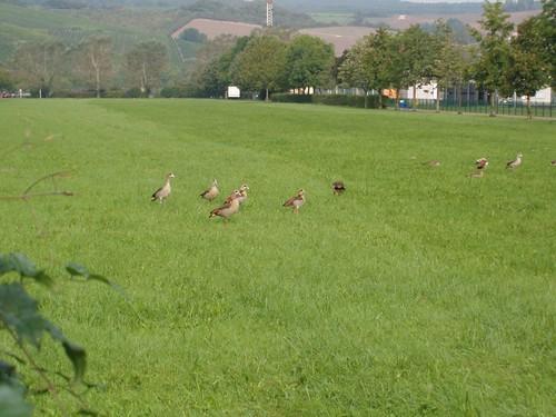 201009190040_Stadtbredimus-geese