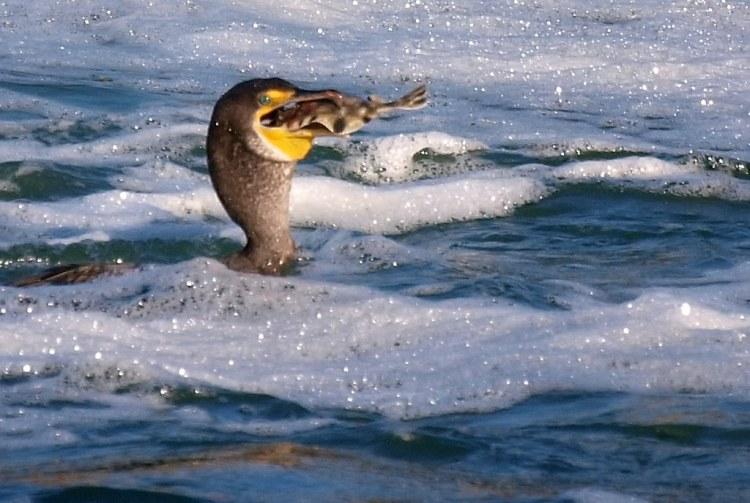 cormorant fishing at ballard locks