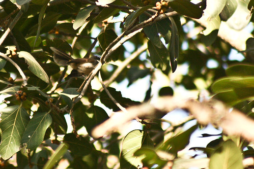 White-throated Fantail Flycatcher