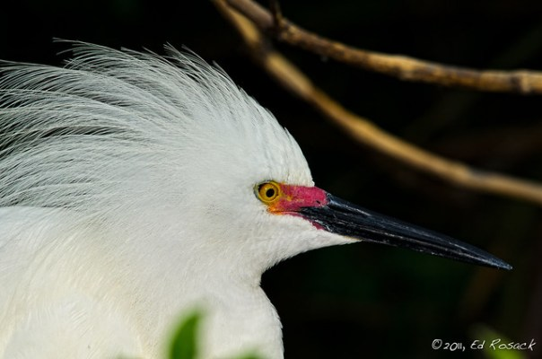 Snowy Egret Portrait (in breeding colors)