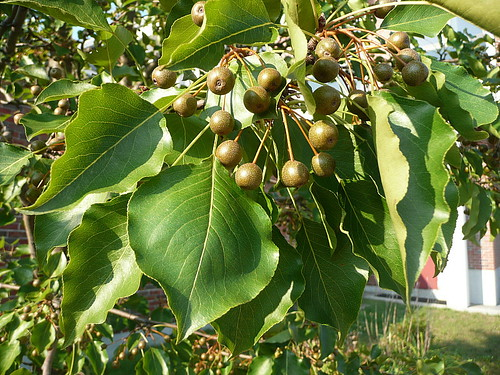 Callery pear fruit
