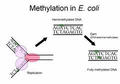 DNA Methylation in E. coli