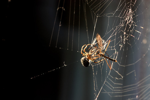 Spider attacks a mosquito hawk stuck in its web