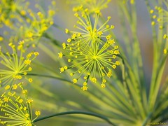 Lovely Dill