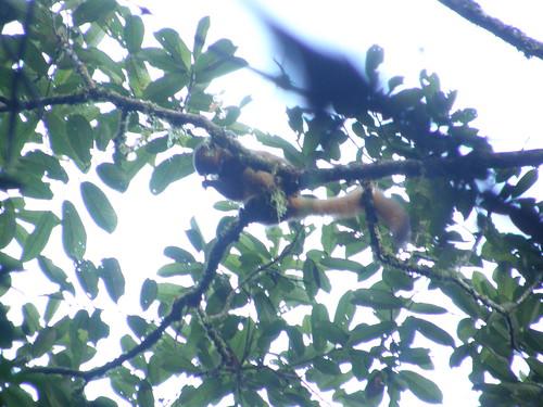 Lémur dorado del bambú (Hapalemur aureus)
