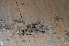skeletal bird or bat