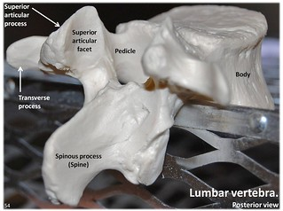 Lumbar vertebra, posterior view with labels - ...