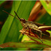 """Grasshopper #2 • <a style=""""font-size:0.8em;"""" href=""""http://www.flickr.com/photos/8038254@N06/4950579272/"""" target=""""_blank"""">View on Flickr</a>"""