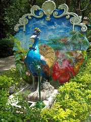 Peacocks of the Grove 17