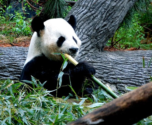 Nomming Bamboo