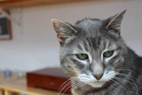 Pondering: Mr. Shadow, a grey tabby cat with green eyes, looks skeptically at the camera.