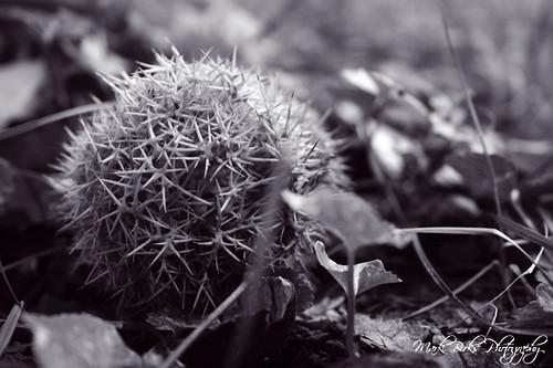 Chestnut pod