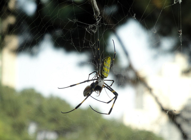 Another crazy-looking spider devouring something