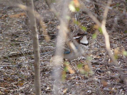Carraca terrestre colilarga (Uratelornis chimaera)