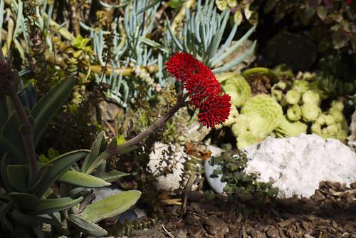crassula falcata, a succulent in my garden