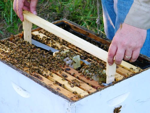Queen bank being placed in hive