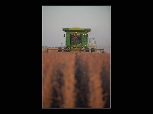 Soybeans at Dusk