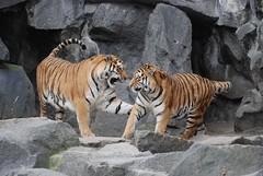 Sibirische Tiger Darius und Antares im Tierpark Friedrichsfelde