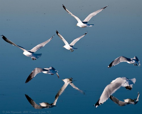 Reflected gulls