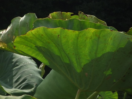 Taro's leaves