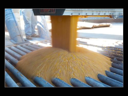 Flowing Corn