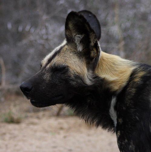 Wild Dog 2