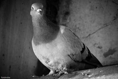 A pigeon P1050526