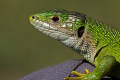 Lézard vert (Lacerta viridis) European Green Lizard