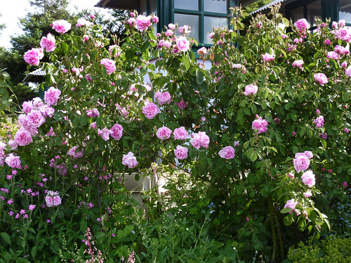 Rosa 'Grandmother's Hat' in full bloom