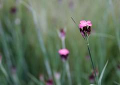 Pink petal - canon eos 550d