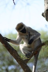 Onschuldig Monkey??