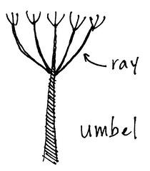 Flower structure: Umbel