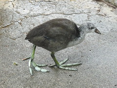 Immature coot