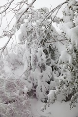 "Snow covered trees and bushes • <a style=""font-size:0.8em;"" href=""http://www.flickr.com/photos/54494252@N00/4926464978/"" target=""_blank"">View on Flickr</a>"