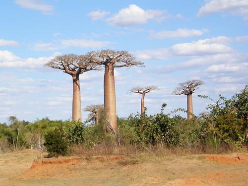 Baobabs (Adansonia grandidieri)