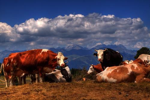 Kühe vor wilder Kreuzspitze
