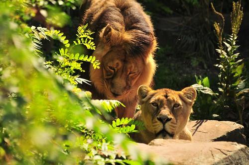 Asiatische Löwen Rajesh und Jamina im Kölner Zoo
