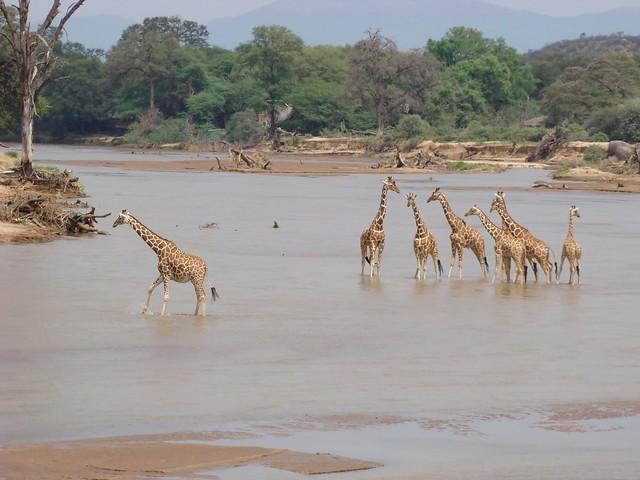 Reticulated Giraffe - Samburu GR
