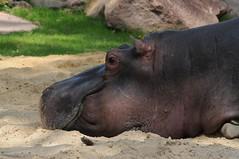 Flusspferd im Kölner Zoo