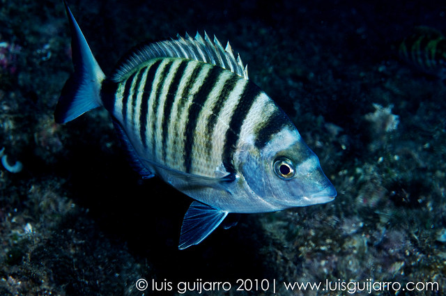 Zebra Bream at Thermocline-32/365