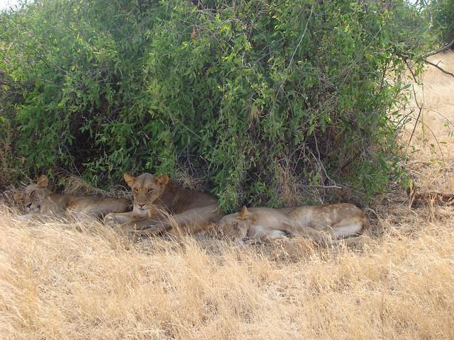 Lionesses - Samburu GR