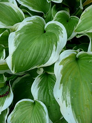 Variagated hosta leaves