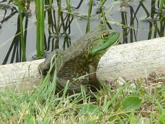 Sunning bullfrog