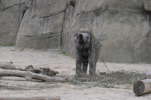 Asiatischer Elefant Maha Kumari im Kölner Zoo