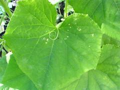 Cucumber Leaf