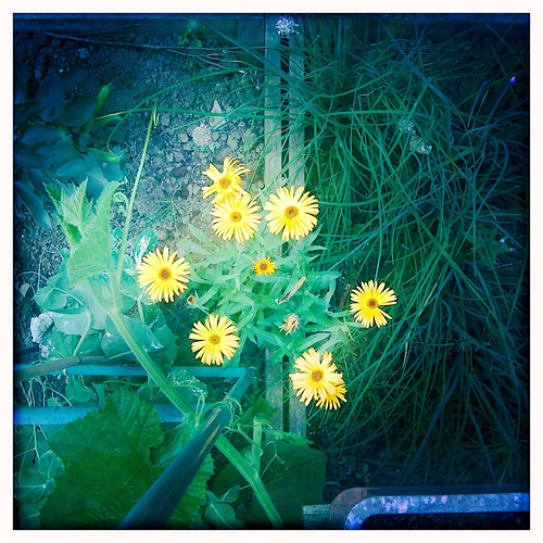 Calendulas on the veg patch